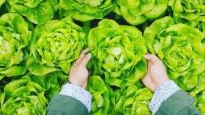 salade agriculture de Faucon