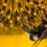 abeille à faucon butine