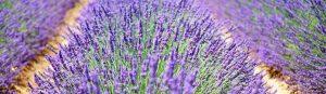 champ de lavande a Faucon pour les touristes de Provence et Vaucluse
