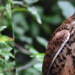 Oiseau Faucon brun dans la nature et la foret de Faucon en Provence Vaucluse