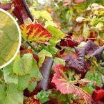lutter contre la flavescence dorée à Faucon et en Vaucluse